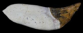 "2.45"" Archaeocete (Primitive Whale) Tooth - Basilosaur For Sale, #36137"