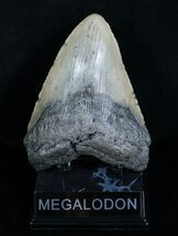 Carcharocles megalodon, South Carolina Coast, 5.53 inches, #4062