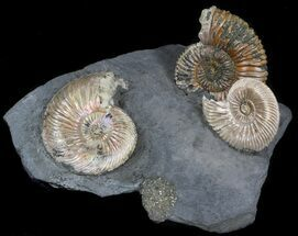 "Buy Iridescent Ammonite Fossils Mounted In Shale - 3.9x3"" - #38110"