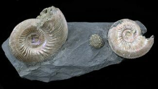 "Buy Iridescent Ammonite Fossils Mounted In Shale - 4.1x1.8"" - #38221"