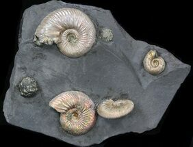 "Buy Iridescent Ammonite Fossils Mounted In Shale - 5.4x4.4"" - #38227"
