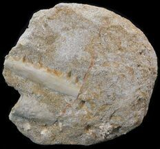"1.8"" Fossil Fish (Enchodus) Jaw Section In Rock - Morocco For Sale, #38441"