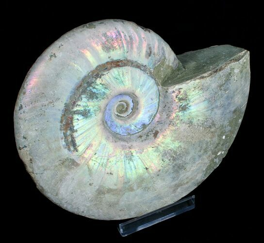 6.5 Inch Silver Iridescent Ammonite From Madagascar