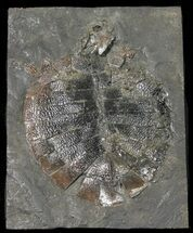 Incredibly Rare Eocene Turtle (Alleochelys) - Messel Shales For Sale, #38936
