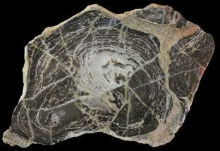 Acaciella australica - Fossils For Sale - #39057