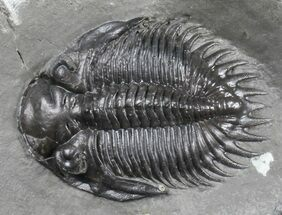"Buy Rare, 1.7"" Bellacartwrightia Trilobite - New York  - #39061"