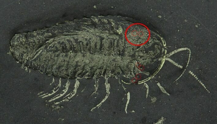 Pyritized Triarthrus Trilobite With Eggs - New York