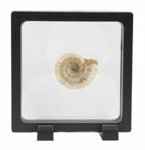 Perisphinctes - Fossils For Sale - #40017
