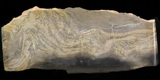 "6.2"" Devonian Stromatolite Slice - Orkney, Scotland For Sale, #40112"