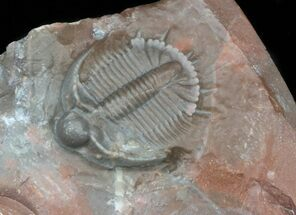 "Buy .85"" Transluscent Basseiarges Trilobite - Jorf, Morocco - #40141"
