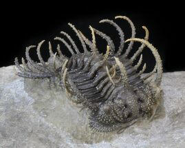 "1.8"" Spine-On-Spine Koneprusia Trilobite - Spectacular For Sale, #40349"