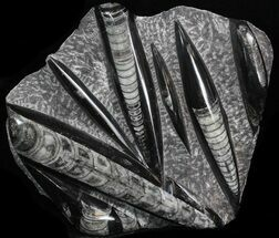 "Buy Polished Orthoceras (Cephalopod) Plate - 8.1"" - #40510"