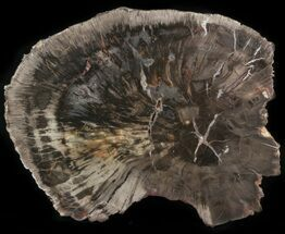 "8"" Petrified Wood (Araucaria) Round - Arizona  For Sale, #41351"