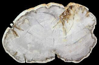 "Buy 4.7"" Petrified Wood (Araucaria) Slice - Madagascar - #41374"