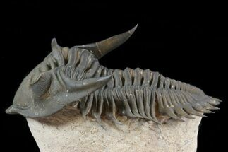 "1.9"" Flying Metacanthina (Asteropyge) Trilobite - Lghaft, Morocco For Sale, #41771"