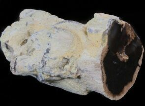 "2.8"" Petrified Wood Limb - Nevada  For Sale, #42125"