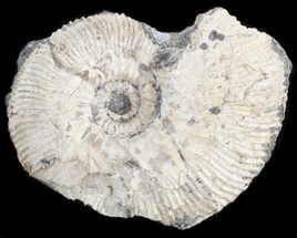 "2"" Wide Kosmoceras Ammonite - England For Sale, #42650"