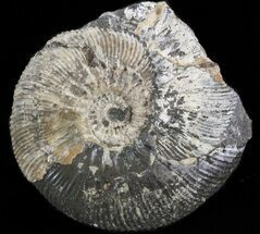 Kosmoceras (Guliemiceras) jasoni - Fossils For Sale - #42651