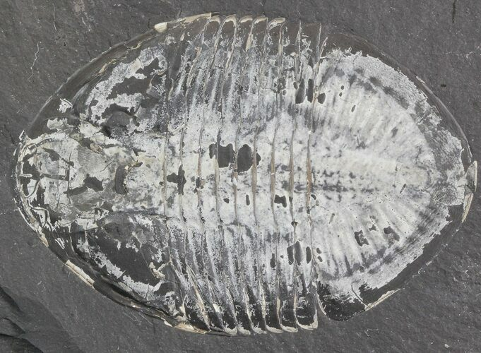 "2.45"" Pseudogygites Trilobite From Ontario - Cyber Monday Special!"