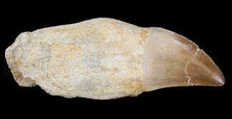 "2.8"" Rooted Mosasaur (Prognathodon) Tooth  For Sale, #43190"