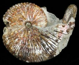 "Buy 3"" Hoploscaphites (Jeletzkytes) Ammonite - South Dakota - #43918"