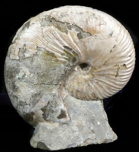 "Displayable 2.5"" Hoploscaphites Ammonite - South Dakota"