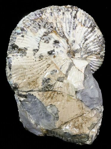 "2.7"" Hoploscaphites Brevis Ammonite - South Dakota"