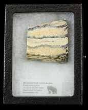 "Buy 1.81"" Mammoth Molar Slice - South Carolina - #44092"