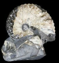 Hoploscaphites sp. - Fossils For Sale - #44061