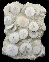 "Spectacular Fossil Sand Dollar Cluster - 13.5"" Tall For Sale, #44324"