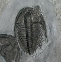 Beautiful Orygmaspis Trilobite With Hitch Hiker For Sale, #4358