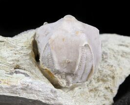 Blastoid (Pentremites) Fossil - Illinois   For Sale, #45023