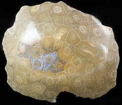 "5.2"" Polished Fossil Coral Head - Morocco For Sale, #44930"