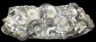 "10.6"" Gorgeous Deschaesites Ammonite Cluster - Russia For Sale, #39158"