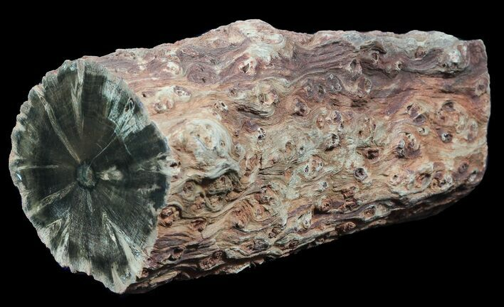 "6.3"" Triassic Woodworthia Petrified Log - Zimbabwe"