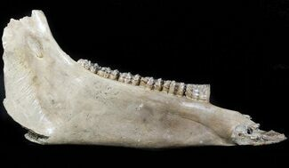 "14.1"" Fossil Horse Jaw - North Sea Deposits For Sale, #45377"