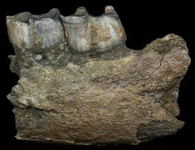 Fossil Rhino (Stephanorhinus) Partial Lower Jaw - Germany For Sale, #45374