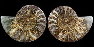 Cleoniceras cleon - Fossils For Sale - #45495
