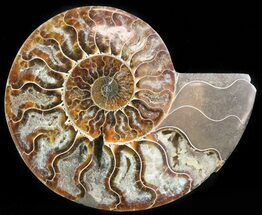 Cleoniceras cleon - Fossils For Sale - #45525