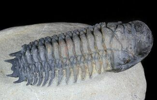 "Nicely Prepared, 2.6"" Crotalocephalina Trilobite For Sale, #45596"