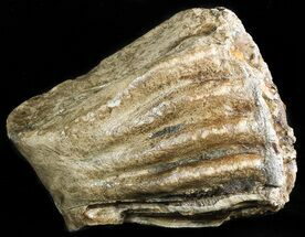 "Buy Partial 5.8"" Southern Mammoth Molar - Hungary - #45550"