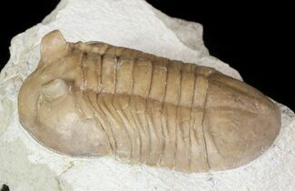 "Rarely Seen 1.95"" Asaphus bottnicus Trilobite - Russia For Sale, #46010"