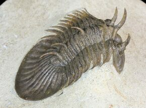 "1.8"" Undescribed Trilobite (aff. Bojoscutellum) - Very Rare For Sale, #46439"