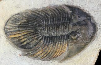 "2.4"" Platyscutellum Trilobite - Rare Type From Laatchana For Sale, #46445"