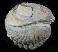 "1.15"" Wide Enrolled Eldredgeops Trilobite - Silica Shale For Sale, #46586"