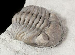 "1.25"" Wide Enrolled Eldredgeops Trilobite In Shale - Ohio For Sale, #46592"