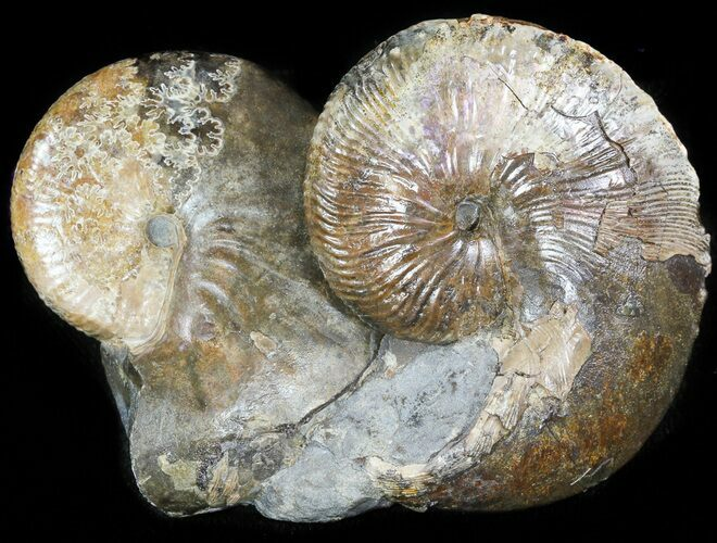 Pair Of Hoploscaphites Ammonites In Concretion - South Dakota