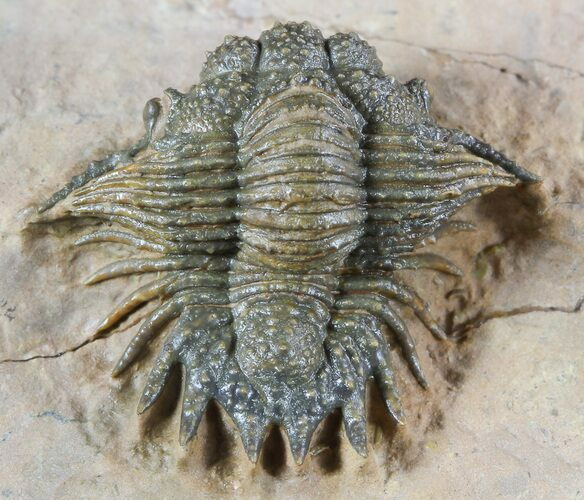 Bumpy Acanthopyge (Lobopyge) Trilobite - Nicely Prepared