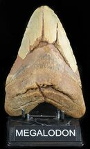 "Buy Massive, 6.02"" Megalodon Tooth - North Carolina - #47422"