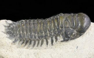"Bargain, 2.2"" Crotalocephalina Trilobite  For Sale, #47369"